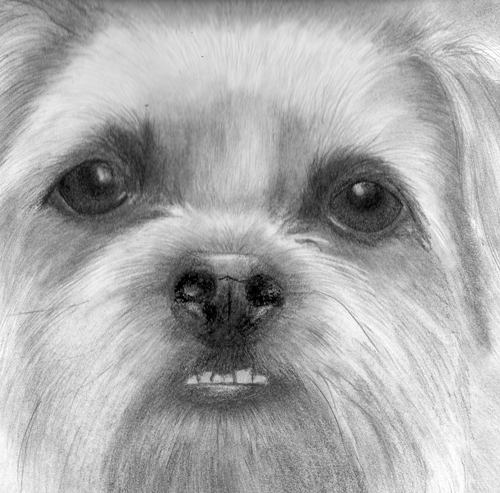 Wilf - graphite pet portrait